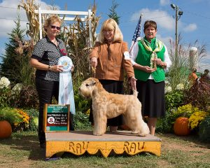Dog Shows   Soft Coated Wheaten Terrier Club of Greater
