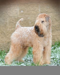 About Us Soft Coated Wheaten Terrier Club Of Greater Tampa Bay